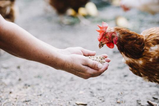 hand-feeding-grains-chicken-farm_23-2147924166
