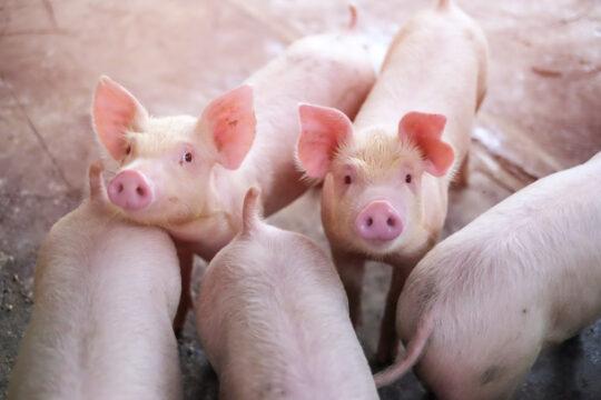 small-piglet-farm-group-mammal-waiting-feed_46189-7 (1)